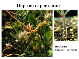 Картинки по запросу растение паразиты фото