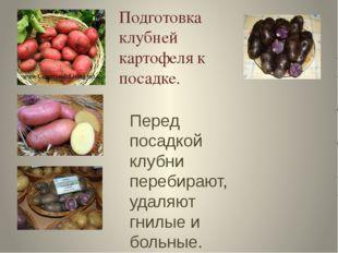 Подготовка клубней картофеля к посадке. Перед посадкой клубни перебирают, уда