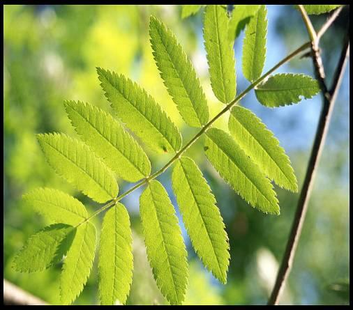 rowan-leaves-12