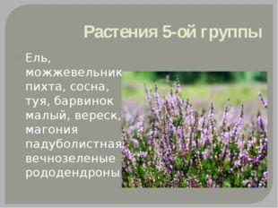 Растения 5-ой группы Ель, можжевельник, пихта, сосна, туя, барвинок малый, ве
