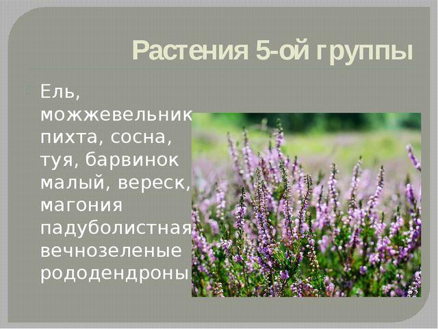 Растения 5-ой группы Ель, можжевельник, пихта, сосна, туя, барвинок малый, ве...
