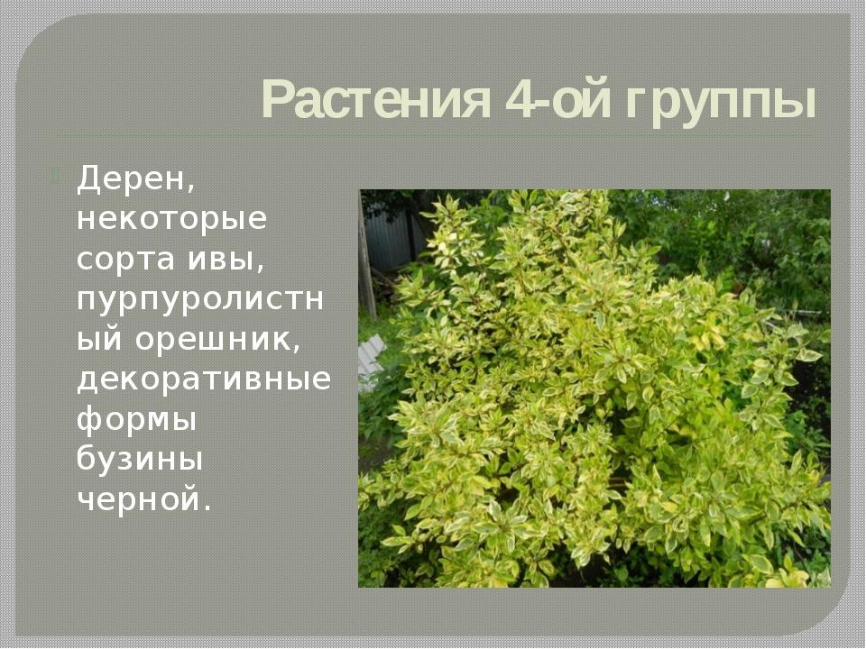 Растения 4-ой группы Дерен, некоторые сорта ивы, пурпуролистный орешник, деко...