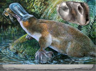 Австралийский утконос покрыт шерстью, кормит детенышей молоком, а нос и все