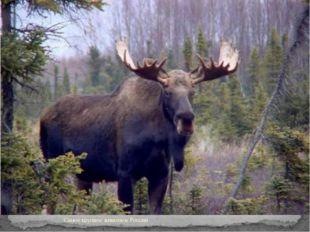 Самое крупное животное России