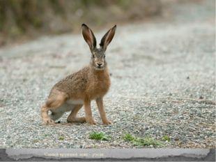 Самый крупный заяц – русак