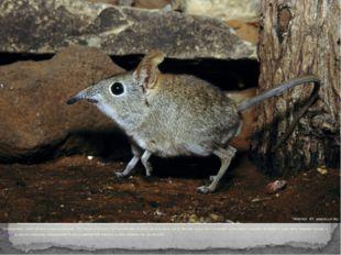 Землеройки, самое мелкое млекопитающие . По бокам тела или у основания хвост
