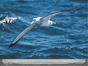 Странствующиеальбатросы достигают длины до 117 см и обладают самым большим