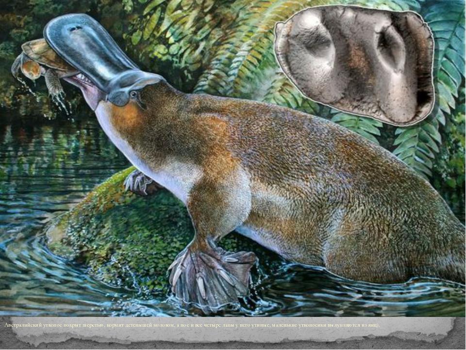 Австралийский утконос покрыт шерстью, кормит детенышей молоком, а нос и все...