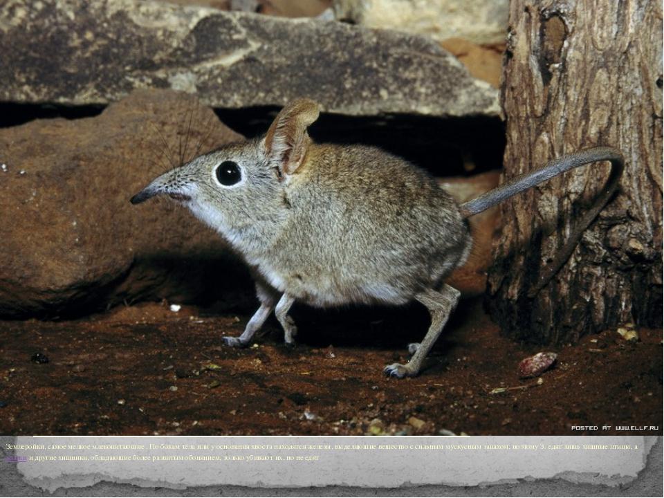 Землеройки, самое мелкое млекопитающие . По бокам тела или у основания хвост...