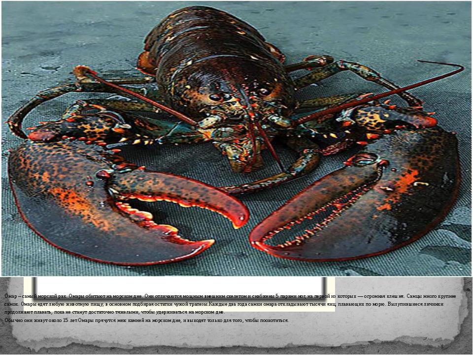 Омар – самый морской рак. Омары обитают на морском дне. Они отличаются мощны...