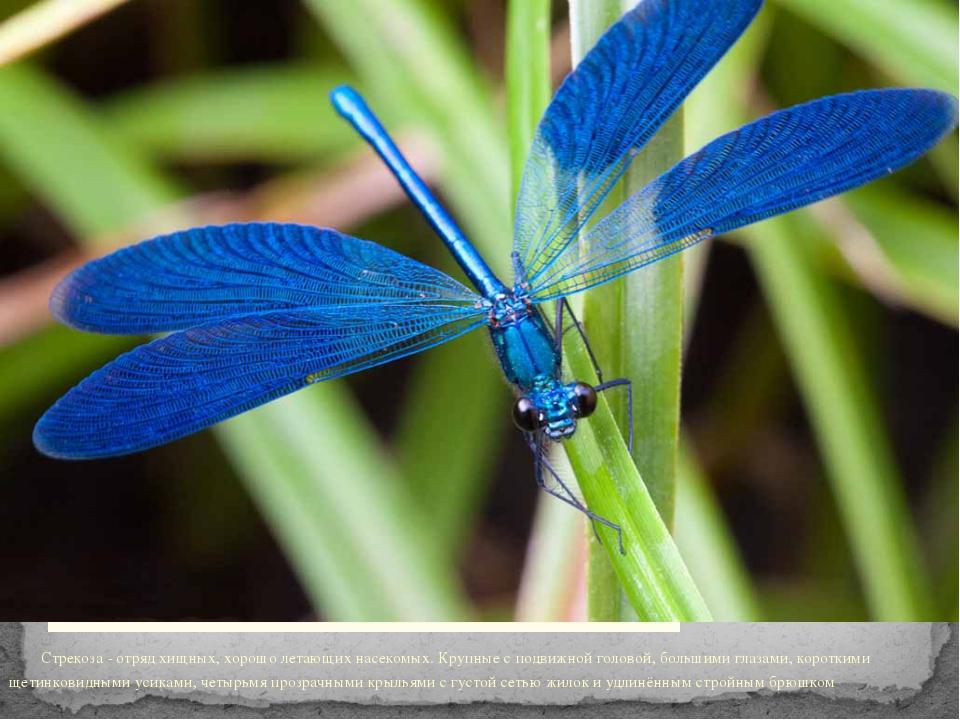 Стрекоза - отряд хищных, хорошо летающих насекомых. Крупные с подвижной голо...