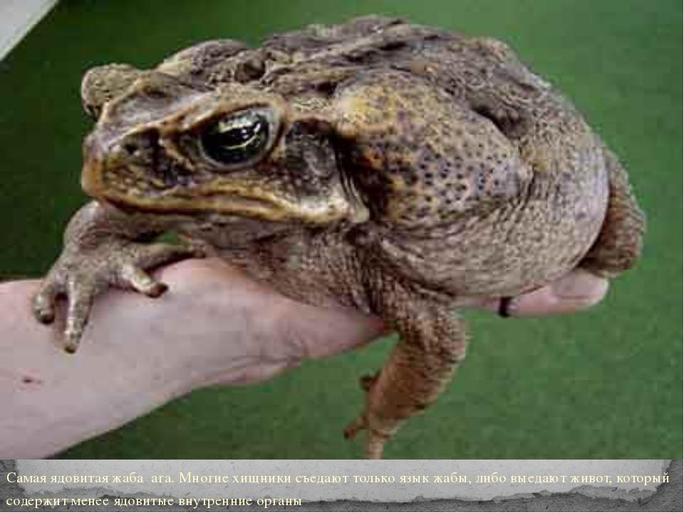 Самая ядовитая жаба ага. Многие хищники съедают только язык жабы, либо выеда...