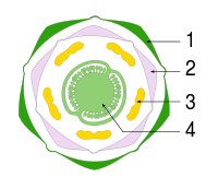 Diagramme floral Solanum tuberosum-tag.svg