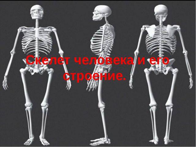 Скелет человека и его строение.