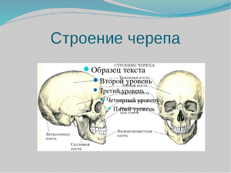 Схема строения черепа больших абажуров