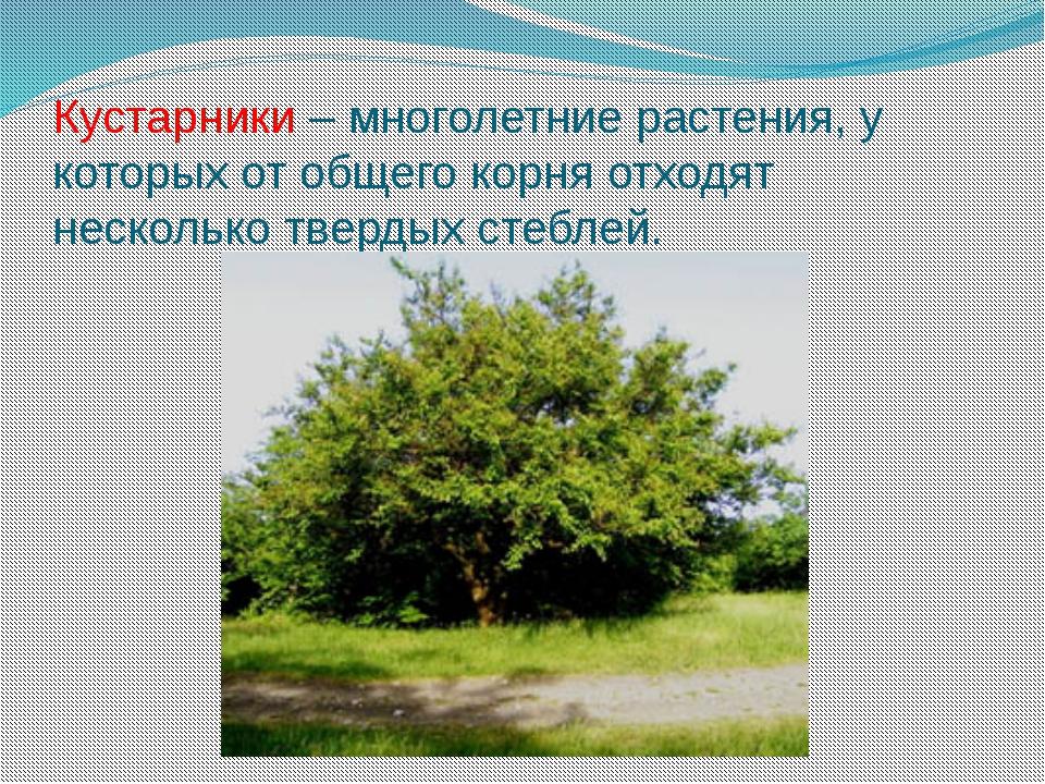 Кустарники – многолетние растения, у которых от общего корня отходят нескольк...