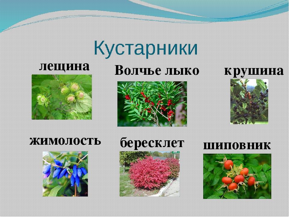 Картинки по теме кустарники и их названия
