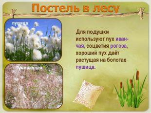 Для подушки используют пух иван-чая, соцветия рогоза, хороший пух даёт растущ