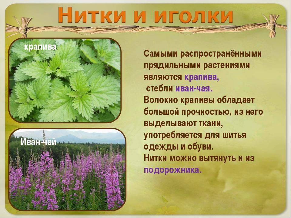 Самыми распространёнными прядильными растениями являются крапива, стебли иван...