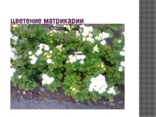 цветение матрикарии