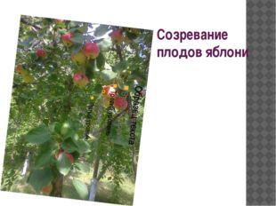 Созревание плодов яблони