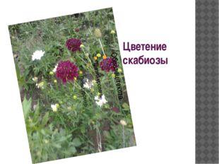 Цветение скабиозы