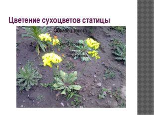Цветение сухоцветов статицы