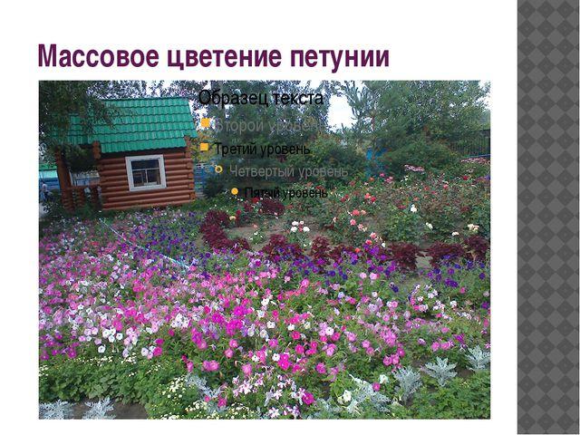 Массовое цветение петунии