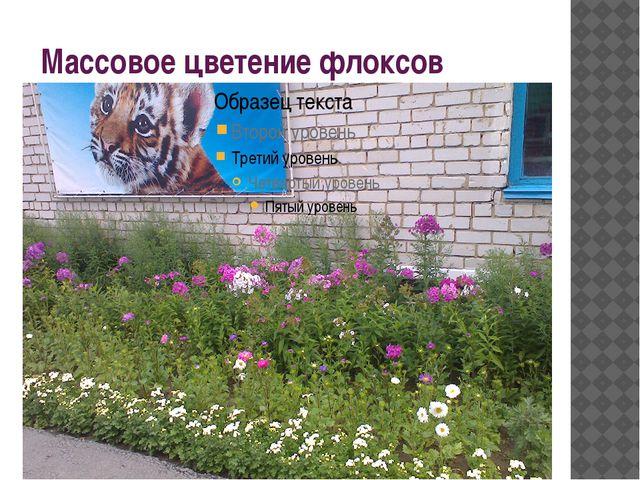 Массовое цветение флоксов