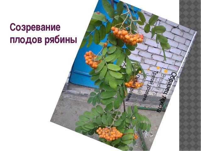 Созревание плодов рябины