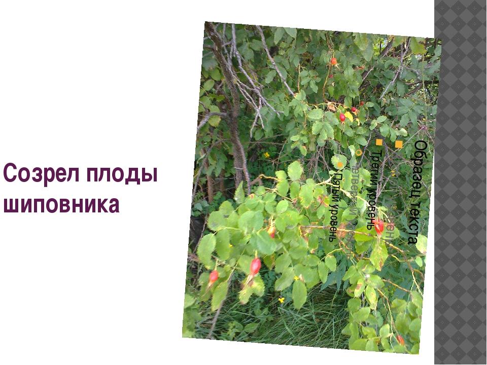 Созрел плоды шиповника