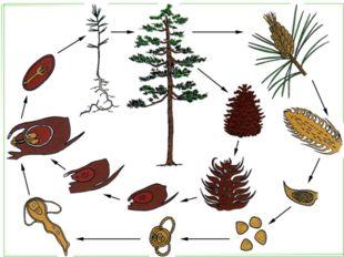 Отдел Голосеменные Произошли от папоротников. Около 700 видов. Среда обитания