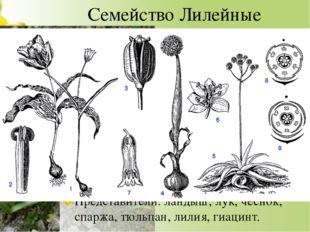 Семейство Лилейные Многолетние травянистые луковичные или корневищные растени