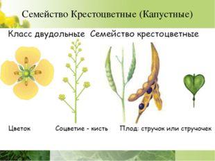 Семейство Крестоцветные (Капустные) Однолетние и многолетние травы, полукуста