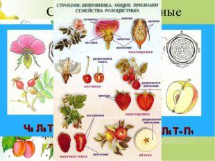 Семейство Розоцветные Деревья, кустарники, полукустарники и травы. Цветки пра