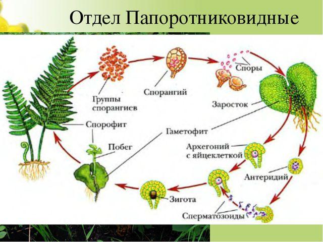 Отдел Папоротниковидные 25 000 видов. Примеры: Орляк, Страусник, Щитовник. Ра...