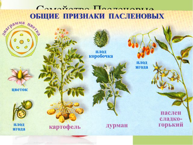 Семейство Пасленовые Травы, реже полукустарники, кустарники. Венчик сростноле...