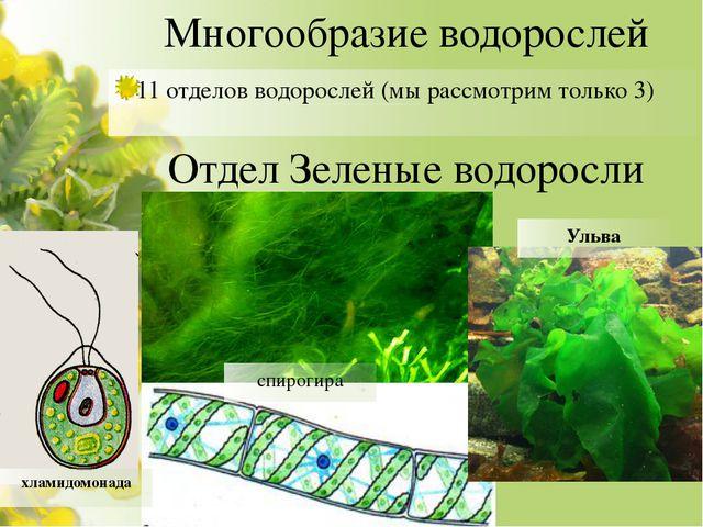 Многообразие водорослей 11 отделов водорослей (мы рассмотрим только 3) Отдел...