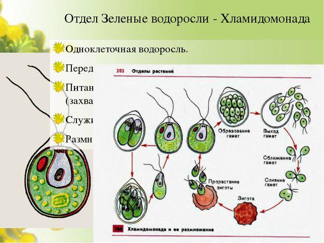 Отдел Зеленые водоросли - Хламидомонада Одноклеточная водоросль. Передвижение...