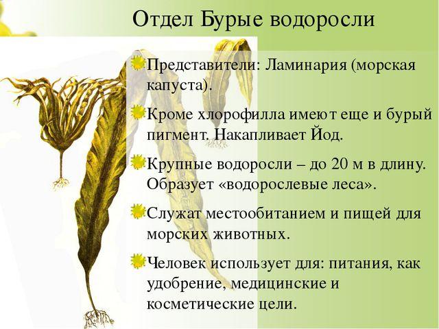 Отдел Бурые водоросли Представители: Ламинария (морская капуста). Кроме хлоро...