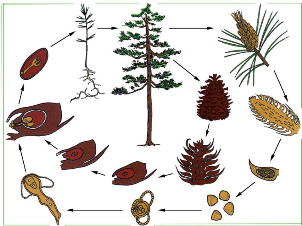 Отдел Голосеменные Произошли от папоротников. Около 700 видов. Среда обитания...