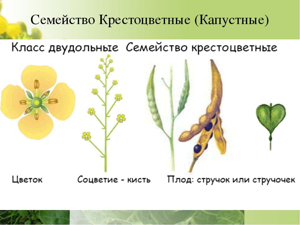 Семейство Крестоцветные (Капустные) Однолетние и многолетние травы, полукуста...