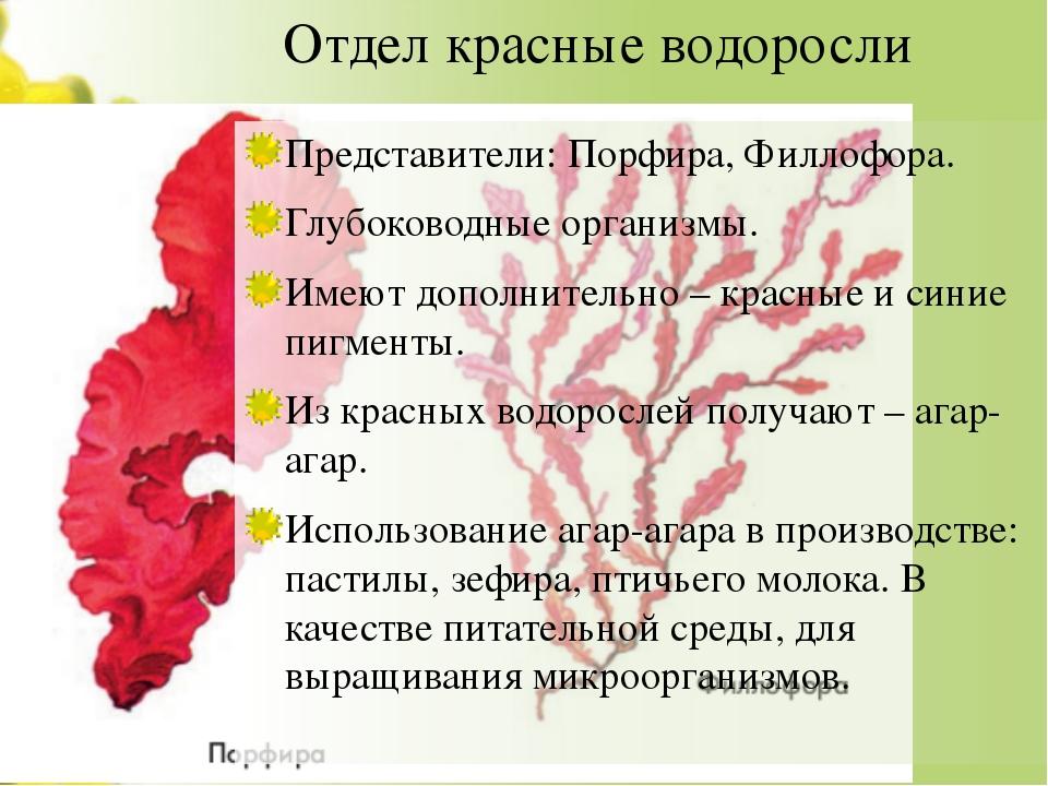 Отдел красные водоросли Представители: Порфира, Филлофора. Глубоководные орга...