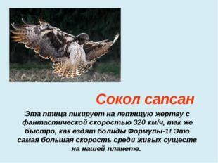 Эта птица пикирует на летящую жертву с фантастической скоростью 320 км/ч, так