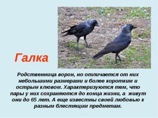 Родственница ворон, но отличается от них небольшими размерами и более коротк