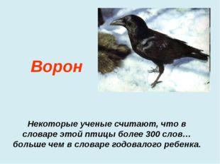Некоторые ученые считают, что в словаре этой птицы более 300 слов…больше чем