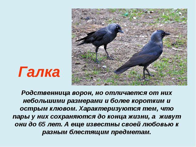 Родственница ворон, но отличается от них небольшими размерами и более коротк...