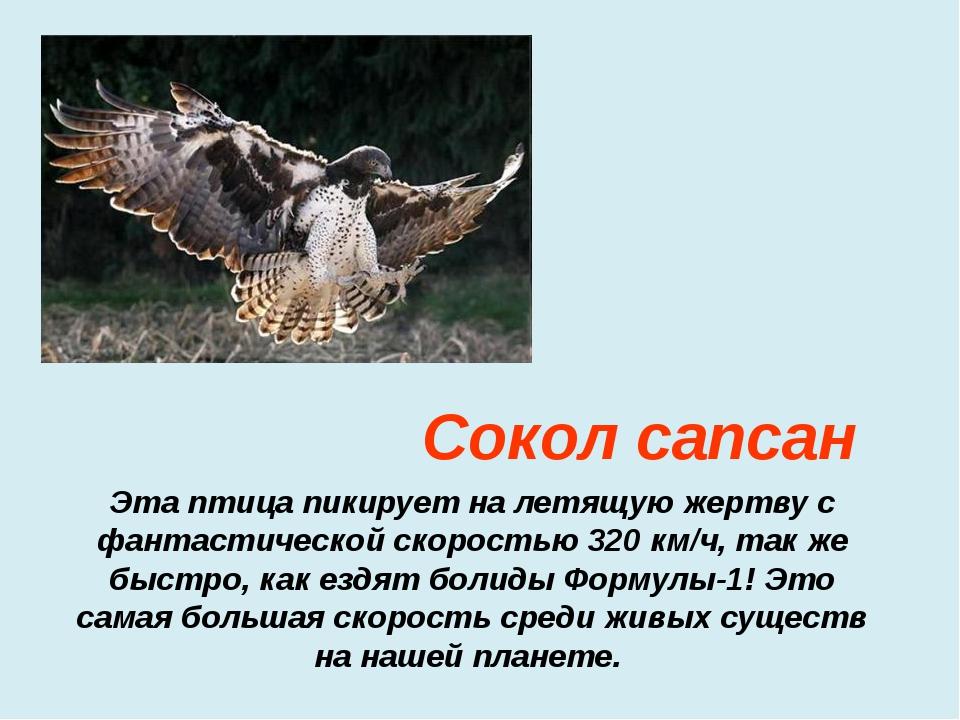 Эта птица пикирует на летящую жертву с фантастической скоростью 320 км/ч, так...