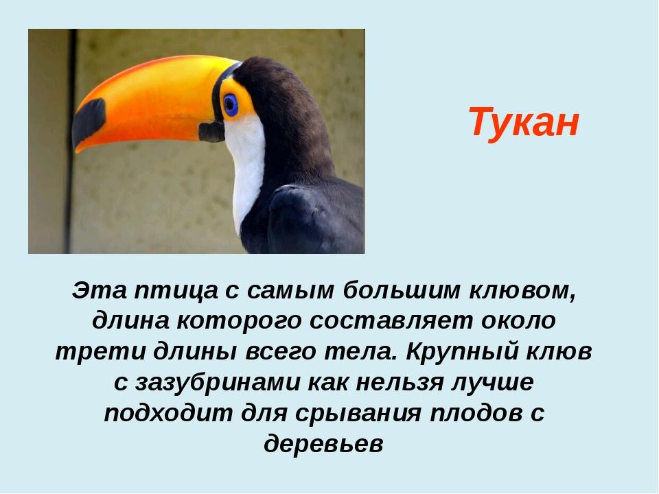 Эта птица с самым большим клювом, длина которого составляет около трети длин...
