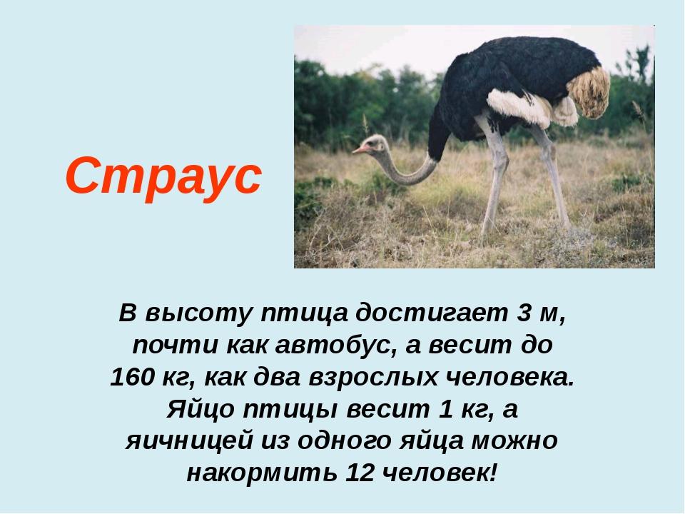 В высоту птица достигает 3 м, почти как автобус, а весит до 160 кг, как два в...